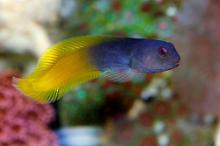 Flame-tail Blenny