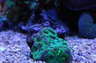 Favites Brain Coral, Toxic Green