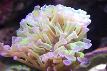 Hammer head coral
