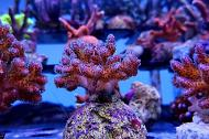 Pocillopora Cauliflower Coral Purple