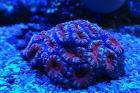 Lordhowensis Coral, Tiger Red Thumbnail
