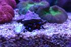 Electric Blue Hermit Crab Thumbnail