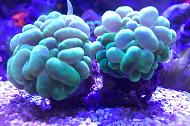 Green Burble Coral
