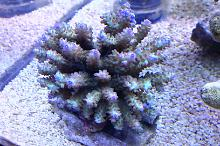 My beautiful new acropora coral