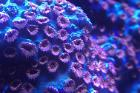 Meteor Shower Coral Thumbnail