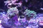 Frogspawn Coral - Branched Thumbnail