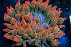 Rainbow rose bubble tip anenome Thumbnail