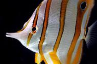 Copper bandbutterfly fish