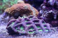 Brain Coral (green and blue)