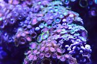 Colony Micro Polyp, Ultra Colored