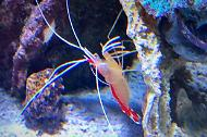 Seymor-Pacific Cleaner Shrimp
