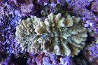 Thick Finger Leather Coral Thumbnail