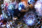 Christmas Tree Worms Thumbnail