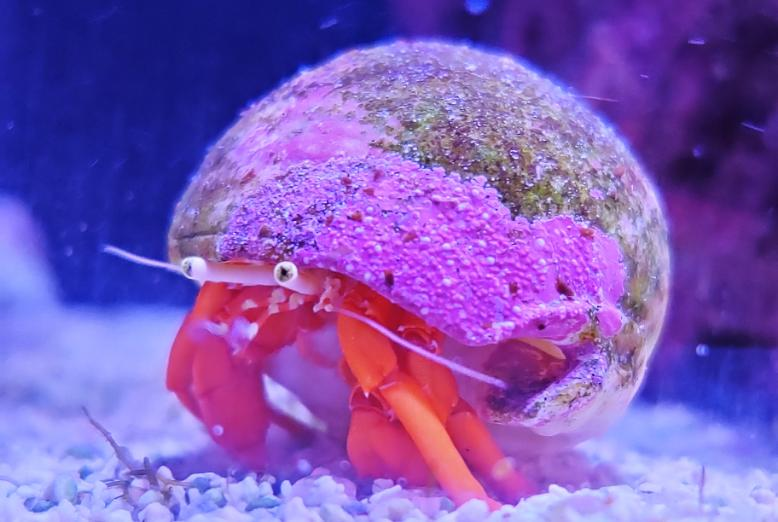 Scarlet red leg hermit crab