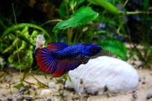 UNS 25C - Female Betta Thumbnail