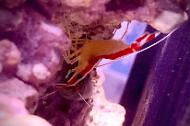 Scarlet Cleaner shrimp