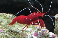 Fire shrimp