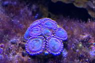 Halle Berry Zoanthids