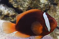 Tomato Clownfish female
