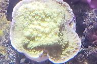 Montipora (Plating)- Green w purple Rim