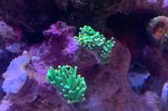Euphyllia g. green mint
