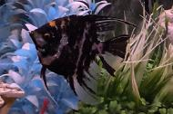 Black Marble Angelfish