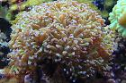 Hammer / Anchor Coral, Branching Thumbnail