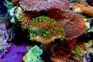 Green Toadstool Mushroom Leather Coral
