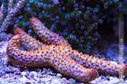 Conical Spined Sea Star Thumbnail