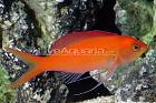 Dispar Anthias Thumbnail