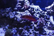 Line Spot Flasher Wrasse