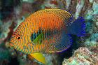 Potter's Angelfish