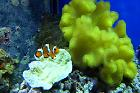 Yellow Fiji Leather Coral Thumbnail