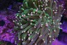 Aussie White Tips Torch Coral