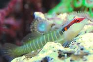 Green Banded Goby