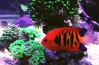 Flame Angelfish Thumbnail