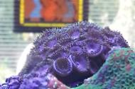 Zoanthid Pink