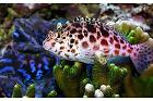 Pixy/Spotted Hawkfish Thumbnail
