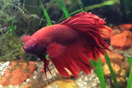 Siamese Fighting Fish Thumbnail