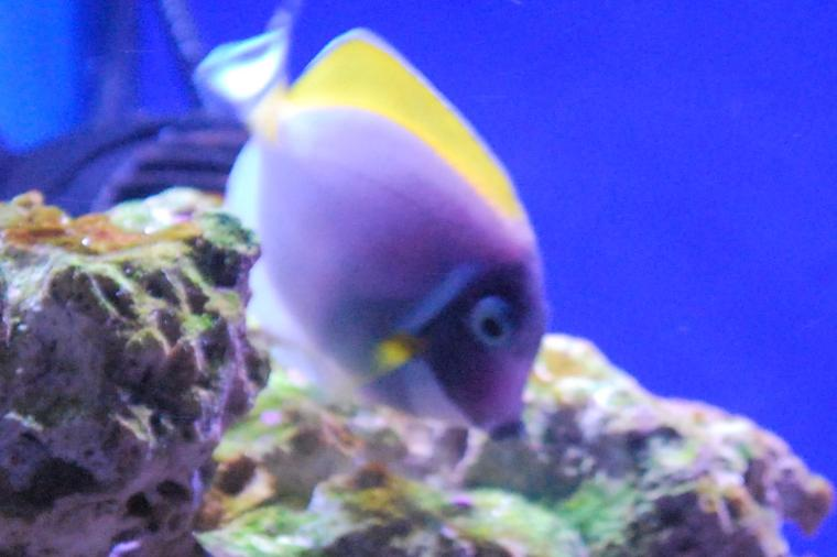 Powder Blue Tang Thumbnail