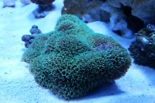 Green Star Polyp