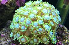 Flower Pot Coral - Green