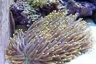 Plate Coral, Long Tentacle Thumbnail